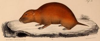 Tachyoryctes - East African mole-rat, (Tachyoryctes splendens)
