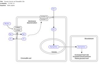 Nicotine - Effect of nicotine on chromaffin cells.