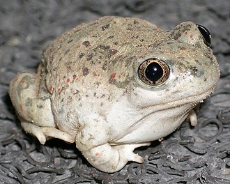 New Mexico spadefoot toad - Image: Nmspadefoot