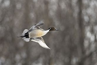 Northern pintail - Northern pintail male in flight