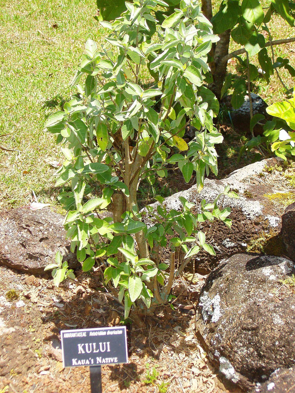 Nototrichium Divaricatum Wikidata