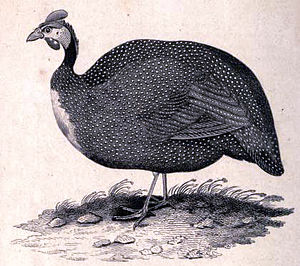 Helmeted guineafowl - The likely extinct subspecies N. m. sabyi of Morocco