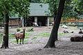 Nyíregyháza Zoo, lamas.jpg