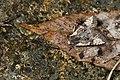 Nyctycia strigidisca nigridorsi (24224417890).jpg