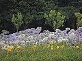 O agapanto é excelente para extensos canteiros, flores da mesma cor, formando ilhas em gramados extensos. - panoramio.jpg