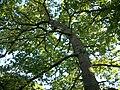 Oak Tree in Cartland Craigs (1).JPG