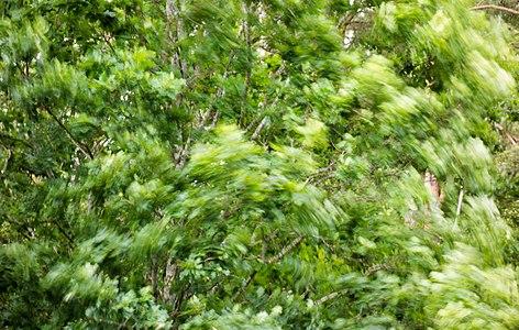 Oak in 20 metre per second wind.