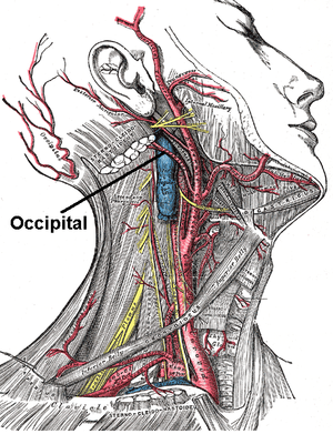 Occipital artery - Superficial dissection of the right side of the neck, showing the carotid and subclavian arteries.