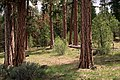 Ochoco National Forest, thinned ponderosa pine stand (36547740666).jpg