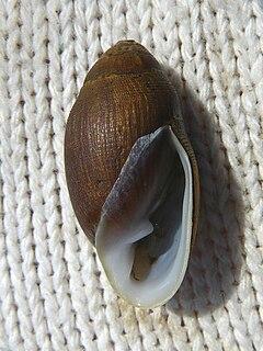 <i>Ellobium</i> genus of molluscs