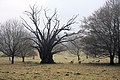 Old tree in Ickworth Park - geograph.org.uk - 1632671.jpg