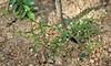 Oldenlandia herbacea W IMG 3839