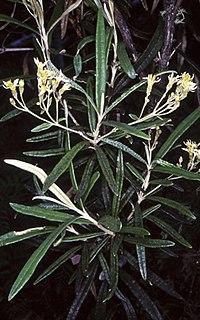 <i>Olearia alpicola</i> Species of shrub