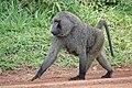 Olive baboon bwindi impenetrable national park.jpg