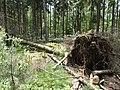 Omgevallen Boom in het Amerongse Bos.jpg
