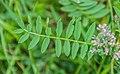 Onobrychis viciifolia in Lozere (6).jpg