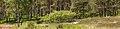 Ontwortelde berk (Betula) komt in blad. Locatie, Kroondomein Het Loo 01.jpg
