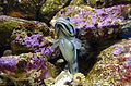 Opistognathus muscatensis 2665.jpg