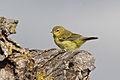 Orange-crowned Warbler, San Jose, CA.jpg
