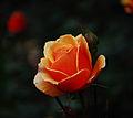 Orange Rose2.JPG
