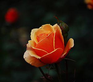 A hybrid Tea Rose