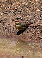 Orange breasted waxbill, Amandava subflava, at Suikerbosrand Nature Reserve, Gauteng, South Africa (23349993376).jpg