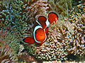 Orange clown fish 2.jpg
