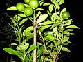 Orange plant (2).JPG