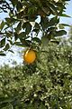 Oranges (4).JPG