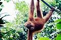 Orangutan at Semenggoh Nature reserve.jpg