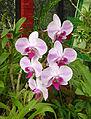 Orchidées-Jardin botanique de Peradeniya-Sri Lanka (7).jpg