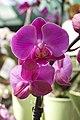 Orchid - panoramio (9).jpg