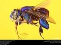 Orchid bee (Apidae, Euglossa mixta (Friese)) (37111760065).jpg