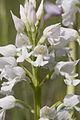 Orchis militaris pelouse-chezy-sur-marne 02 12052007 7.jpg