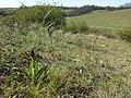Orchis purpurea sl49.jpg