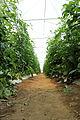 Organic Greenhouse Tomatoes, Oaxaca.jpg