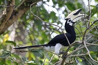 Oriental pied hornbill - Image: Oriental pied hornbill brunei