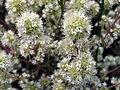 Origanum majorana FlowerCloseup DehesaBoyaldePuertollano.jpg