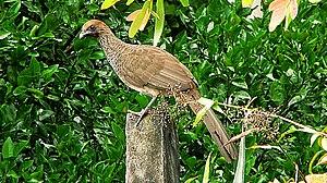 East Brazilian chachalaca - Image: Ortalis (guttata) araucuan (2818916890)