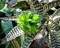 Orthophytum gurkenii - Flickr - Dick Culbert.jpg