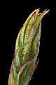 Orthotrichum lyellii.jpg