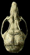 Cráneo de un espécimen de Transandinomys