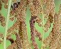 Osmunda 1572.JPG