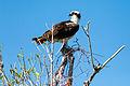 Osprey (24710598060).jpg