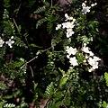 Osteomeles schwerinae var microphyla fleurs.jpg