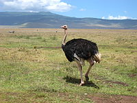 Ostrich in the crater.jpg