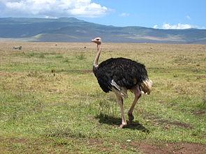 Afrikanischer Strauß ♂ (Struthio camelus)
