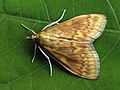 Ostrinia nubilalis - European corn borer - Кукурузный мотылёк (26972585408).jpg