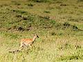Ourebia ourebi, Northern Serengeti, Tanzania.jpg