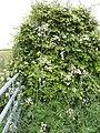 Overgrown hedge - geograph.org.uk - 450911.jpg
